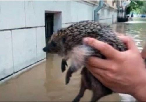 В Керчи во время наводнения спасли утопающего ежа ВИДЕО