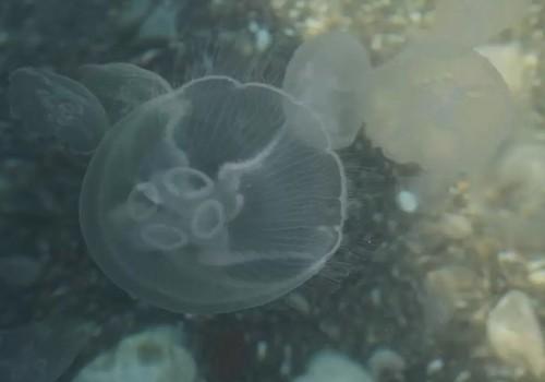 Крымское побережье атаковали огромные медузы ФОТО