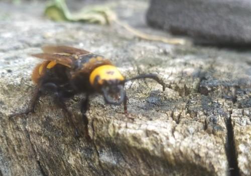 Гигантские осы освоили новые районы Крыма