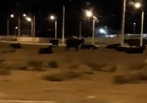 В Севастополе на «огурец» вышли коровы ВИДЕО
