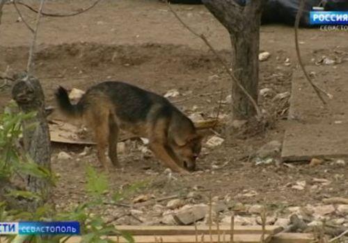 Стая собак из нелегального приюта держит в страхе район Севастополя