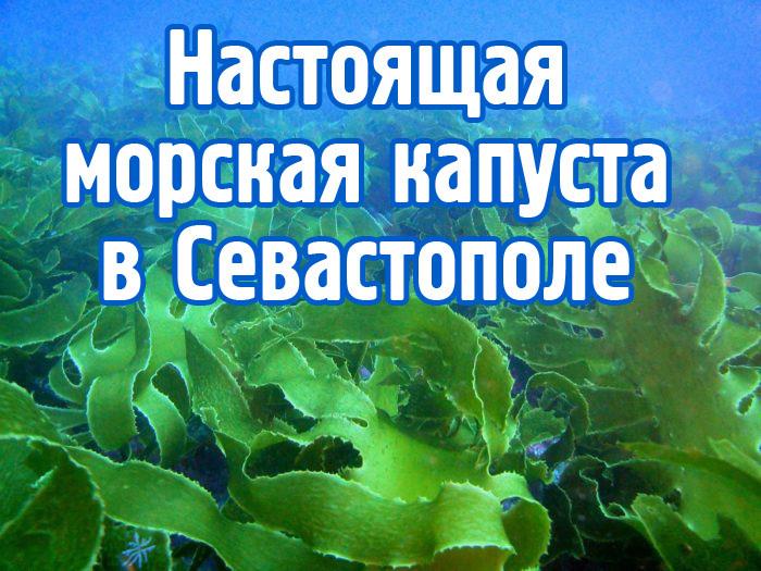 Настоящая морская капуста (ламинария) уже в Севастополе!