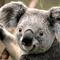 Mini_koala